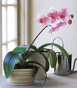Lavender Phalaenopsis Orchid (color may vary)